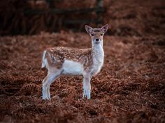 Bambi in the Bracken by Nick Bywater - Photo 183995987 / 500px