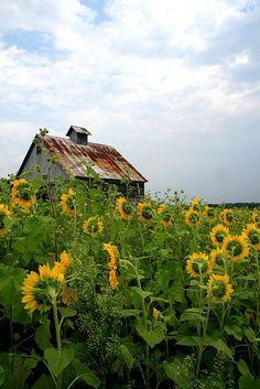 old barn in sunflower field