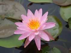 Nymphaea 'Rose Arey' Hardy Waterlily. Rose Arey's bright pink star-shaped blossoms make excellent cut flowers.