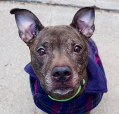 PORCHA - A1100550 - - Manhattan  Please Share:TO BE DESTROYED 01/04/17 **ON PUBLIC LIST** A volunteer writes: Porcha came to us with friend Mocha(with whom she bears a great resemblance) because of the NYCHA ban. She is collected in her kennel, sometimes sleeping or watching carefully the ins and outs of her ward. Porcha is ready when I present her with the leash. She is a great walker and does her business as soon as we exit the building(she is said to be house trained).Po