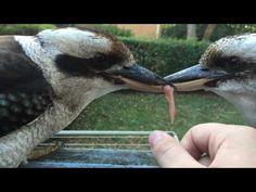 Kookaburra vs Human vs Kookaburra - YouTube