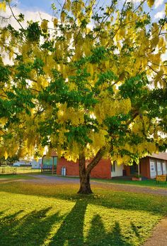 Full size picture of Golden Shower Tree Purging Cassia Golden