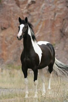 Pinto horse on teacher farmGorgeous Proud Wild Black Paint Mustang Stallion.i love black and white horses looks like my pony! What a beautiful horse with stunning markings. What a beautiful horse with stunning markings. What a beautiful horse with st Horse Photos, Horse Pictures, Animal Pictures, All The Pretty Horses, Beautiful Horses, Animals Beautiful, Beautiful Gorgeous, Painted Horses, Cheval Pie