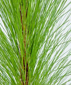 Another great find on #zulily! Live Long Leaf Pine Tree #zulilyfinds