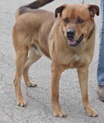 224 Charlie- SPONSORED! is an adoptable Chow Chow Dog in Youngstown, OH. Charlie is still at the pound waiting to find his forever home. (updated 4/12/2012)  This wonderful dog came in on: MARCH 29, 2...