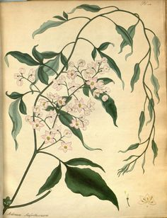 v.8 - The botanist's repository, for new and rare plants : - Biodiversity Heritage Library