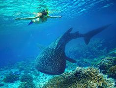 Woman snorkeling with a large whale shark in Holbox, Mexico