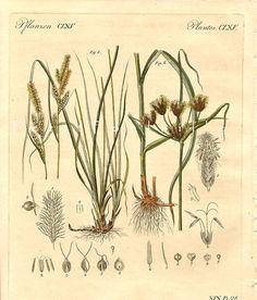 1815 Antique Grass Botanical Engraving