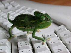 #lizard