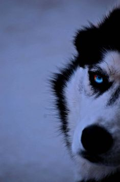 Image Result For Silhouette Of A Husky Dog Peter
