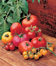 Collection, Hall of Fame Tomato Seeds and Plants, Vegetable Seeds at Burpee.com