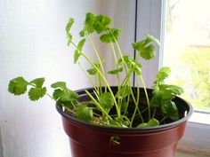 13 Vegetables That You Can Regrow Again And Again --> Cilantro