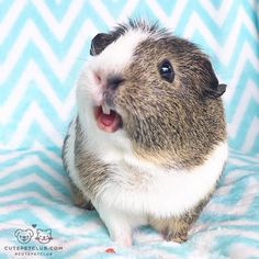 From @aussie_guinea_pigs: We took some new pictures! #cutepetclub [source: http://ift.tt/2f4cqDy ]
