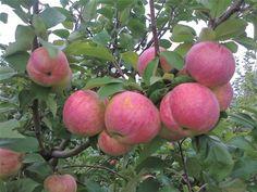 Яблоки сорта «Братчуд»