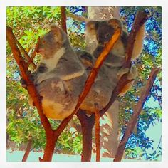 High up in the trees..... #furryfriends #currumbinwildlifesanctuary #koalas #cuddlycute  by zoe_boe_mitchell http://ift.tt/1X9mXhV