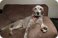 Wood Dale, IL - English Setter. Meet Buster, a dog for adoption. http://www.adoptapet.com/pet/12340888-wood-dale-illinois-english-setter