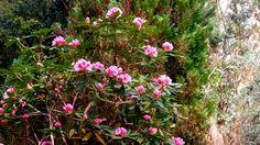 Rhododendron Mrs G.W. Leake @kilmokeacountrymanor