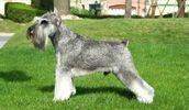 Miniature Schnauzer breed info,Characteristics,Hypoallergenic:Yes