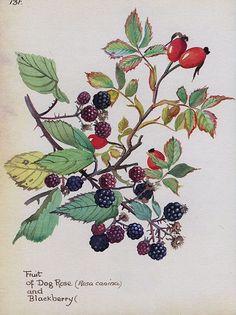 Rose Hips & Blackberries by Edith Holden