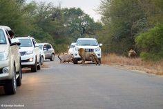 entre carros, leões machos matam um cudu (3)