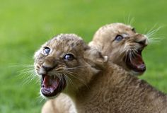 African lion cubs | Two-month old African lion cubs sit on the grass after receiving ...