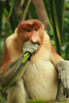 Proboscis monkey (madaboutasia)