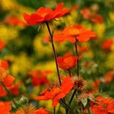 Geum coccineum 'Cooky' ~ more compact plant but the flowers really stand out, especially during a bright sunset