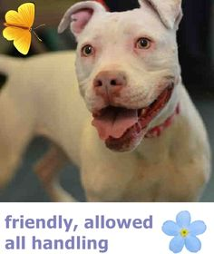 SAFE❤️❤️ 6/20/16 Staten Island Center SOPHIA – A1071327 ***DOH HOLD – B *** SPAYED FEMALE, WHITE, PIT BULL MIX, 2 yrs, 2 mos STRAY – ONHOLDHERE, HOLD FOR DOH-B Reason BITEANIMAL Intake condition EXAM REQ Intake Date 04/24/2016 http://nycdogs.urgentpodr.org/sophia-a1071327/