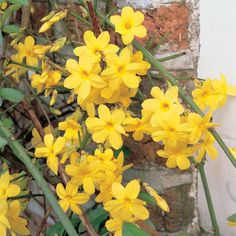 Jasminum nudiflorum The bare stems of Jasminum nudiflorum are covered in canary yellow blooms from February onwards, signalling that spring is on the way. This versatile climber is extremely hardy and very easy to grow, but will benefit from regular pruning. #gardening #jasmine