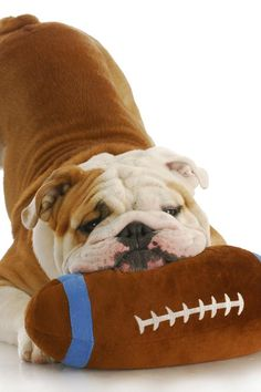 Lieve Engelse Bulldog pup met speeltje !!