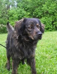 Brownie is an adoptable Spaniel Dog in Lima, OH. apx 2 years old...
