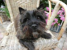 cairn terrier Cairn terriers |pewe via Flickr - Photo Sharing!