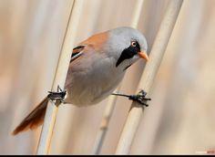 Bearded tit / Panurus biarmicus, doing the birdie splits!