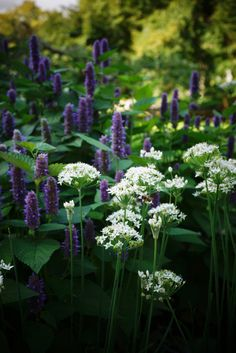 Allium neapolitanum (Aglio napoletano/Ail de Naples/Neapolitan garlic) and Agastache foeniculum (Menta anice/Hysope anisée/Blue giant hyssop) Garden Inspiration, Romantic Garden, Plants, Beautiful Gardens, Dream Garden, Planting Flowers, Lily Seeds, Woodland Garden, Garden Design