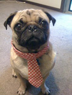 BACON THE PUG!!! ALL DRESSED UP