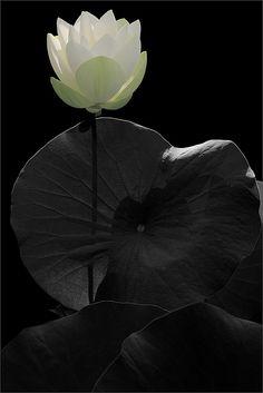 ✯ White Lotus flower .. by Bahman Farzad✯