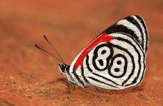 88 mariposa en Misiones, Argentina