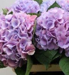 Hydrangea - Dutch Marsepein Blue