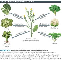 AN EXAMPLE OF ARTIFICIAL SELECTION FIGURE 1.10 Evolution of Wild Mustard through DomesticationIn artificial selection, humans are the selective agents. The many different varieties of cruciferous plants were created by humans through selective breeding of genetically varied wild mustard plants. Individuals with desired genetic characteristics were bred with each other until their descendants became distinctly different from the ancestor, the wild mustard.