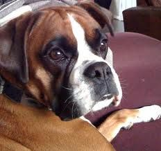 awww... how can you not love a boxer!
