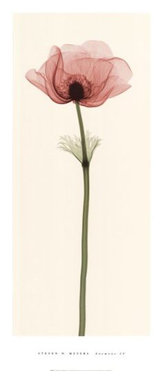 Anemone IV Fine-Art Print by Steven N. Meyers at UrbanLoftArt.com