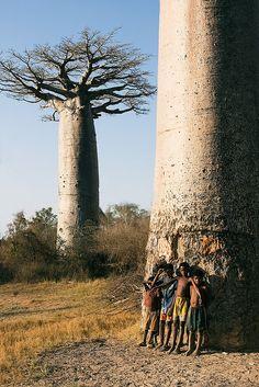 Baobá - Madagascar