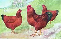 New Hampshire Reds This breed originated in the state of New Hampshire at the hands of poultry farmers who started with R.I. Reds and by means of generation after generation of selective breeding intensified the characteristics of early maturity, rapid full feathering, and production of large brown eggs.