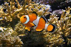 #¿Cómo cambia de sexo el pez payaso? - Segundo Enfoque: Segundo Enfoque ¿Cómo cambia de sexo el pez payaso? Segundo Enfoque Luego de haber…