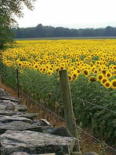 A Place in the Country - Beautiful Sunflower Field. Happy Flowers, Wild Flowers, Beautiful Flowers, Sun Flowers, Exotic Flowers, Flowers Garden, Sunflower Garden, Sunflower Fields, Sunflower Flower
