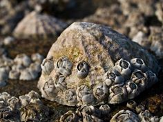 limpet shell barnacles