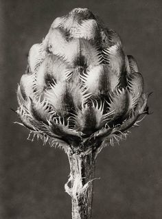 © Karl Blossfeldt / Courtesy The Walther Collection and Karl Blossfeldt Archiv / Ann und Ju rgen Wilde
