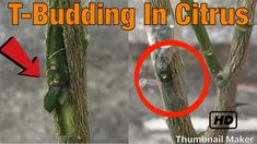 Grafting Citrus Trees - Grafting Fruits Trees by T-budding