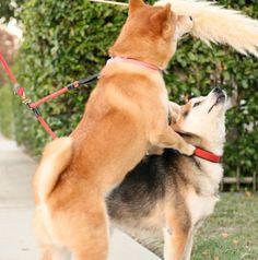#shibainu #cute #dog / lola and nicky <3