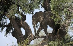 This picture captures the moment an African elephant steps out onto a tree branch to forage for food. The male elephant from South Luangwa National park, Zambia, climbed a giant termite mound to access the fruit in a nearby tamarind tree. Photographer Bryan Jackson, 61, captured the image while working as a wildlife guide for Remote Africa Safaris.